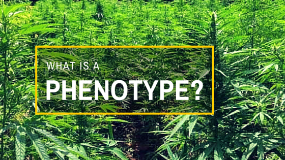 Greenito Find a dispensary and learn What is a Phenotype